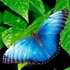 harrison borboleta