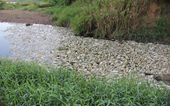 Fonte da imagem: http://ultimosegundo.ig.com.br/brasil/sp/2014-02-13/milhares-de-peixes-mortos-sao-retirados-do-rio-piracicaba-no-interior-de-sp.html