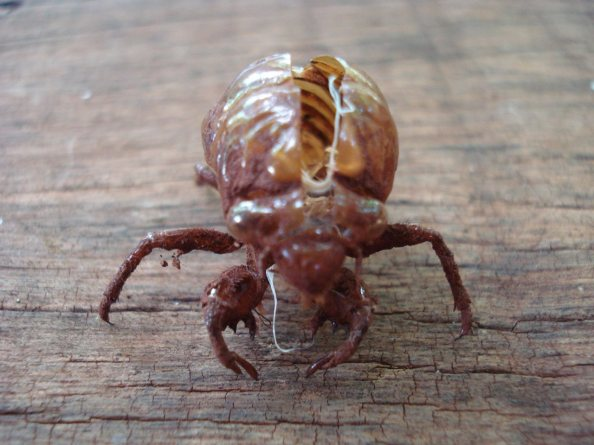 Fonte da imagem: http://www.baixaki.com.br/papel-de-parede/tags/casca-cigarra-inseto.htm