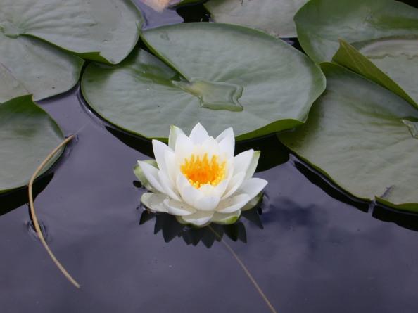lotus_flower-loto